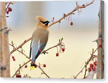 Cedar Waxwing Canvas Print by Betty LaRue
