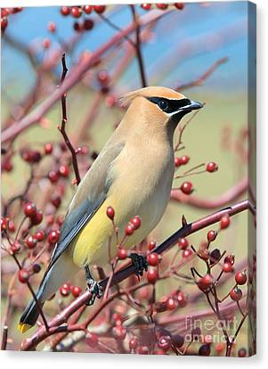 Canvas Print featuring the photograph Cedar Waxwing by Debbie Stahre