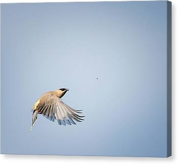 Cedar Waxwing In Flight Canvas Print