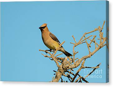 Cedar Waxwing Canvas Print by Mike Dawson