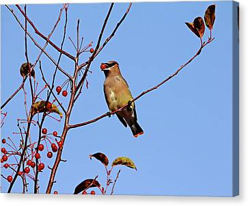 Cedar Waxwing With Red Fruit Canvas Print by Debbie Oppermann