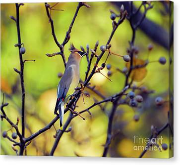Canvas Print featuring the photograph Cedar Waxwing With Windblown Crest by Kerri Farley of New River Nature