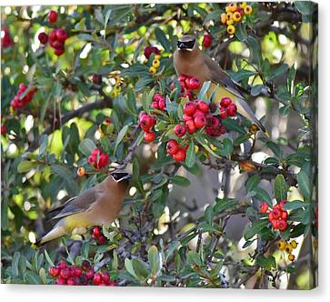 Cedar Waxwings 3 Canvas Print by Linda Brody