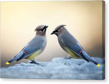 Cedar Waxwings Canvas Print by Bonnie Barry