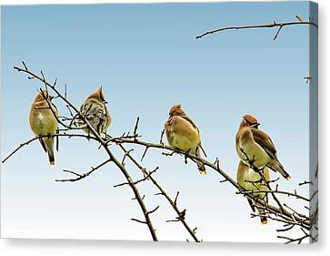 Cedar Waxwings Canvas Print by Geraldine Scull