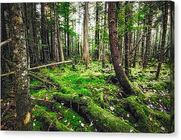 Canvas Print featuring the photograph Cedar Woods by Robert Clifford