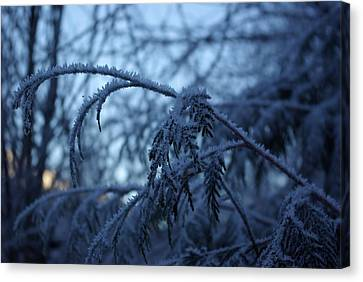 Cedars Of Ice Canvas Print