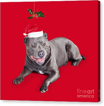 Doggy Cards Canvas Print - Celebrating Christmas With A Blue Staffie Dog by Jorgo Photography - Wall Art Gallery