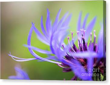 Centaurea Montana Canvas Print by Tim Gainey