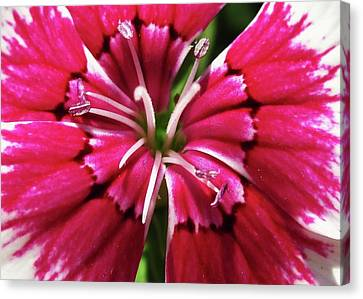 Center Of A Sweet William Canvas Print by Mary Ellen Frazee