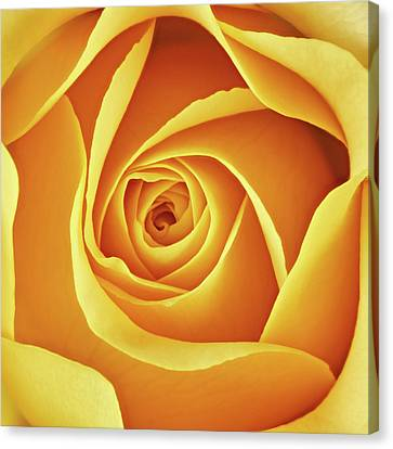 Center Of A Yellow Rose Canvas Print by Jim Hughes