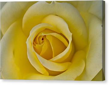 Centered Beautiful Yellow Rose Canvas Print by Dina Calvarese