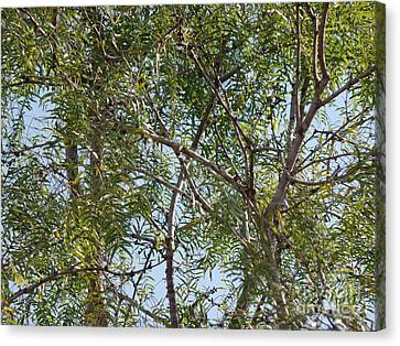 Canvas Print featuring the photograph Central Texas Sky View Through Mesquite Trees by Ray Shrewsberry