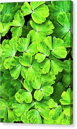 Certain Green Canvas Print by Christina Rollo