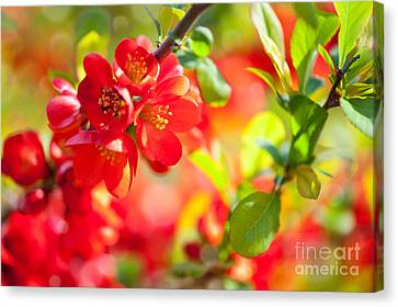 CHAENOMELES JAPONICA FLOWER CANVAS WALL ART PRINT PICTURE READY TO HANG
