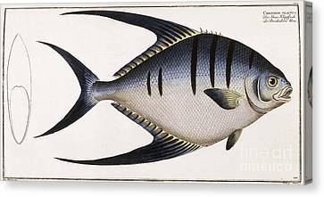 Chaetodon Glaucus Canvas Print by German School