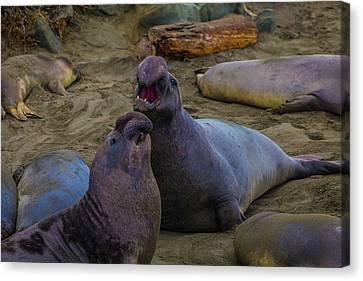 Cambria Canvas Print - Challenging Elephant Seals by Garry Gay