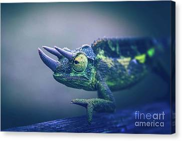 Canvas Print featuring the photograph Chamaeleo Jacksonii by Sharon Mau