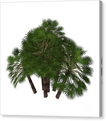Chamaerops Humilis Mediterranean Fan Palm Canvas Print