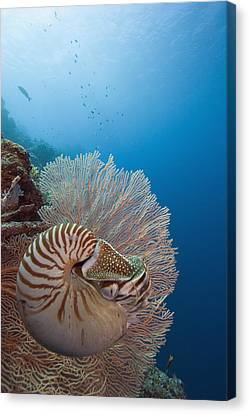 Chambered Nautilus Canvas Print