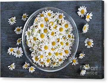 English Garden Canvas Print - Chamomile Flowers In Bowl by Elena Elisseeva