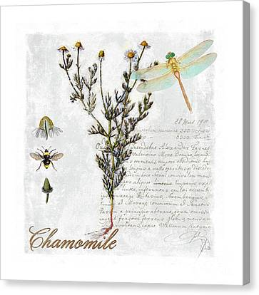 Chamomile Herb Dragonfly Botanical Illustration Art Canvas Print by Tina Lavoie