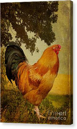 Chanticleer Canvas Print