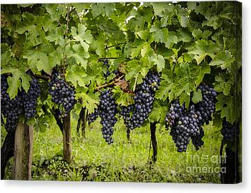 Chardonnay Grape Cluster Canvas Print by Perry Van Munster