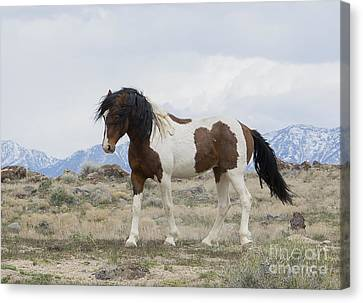 Charger Canvas Print by Nicole Markmann Nelson