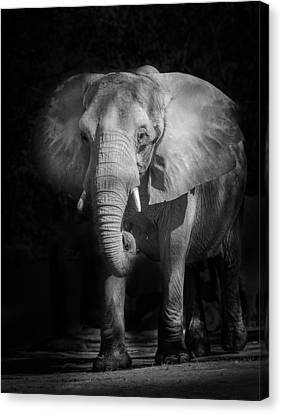 Charging Elephant Canvas Print