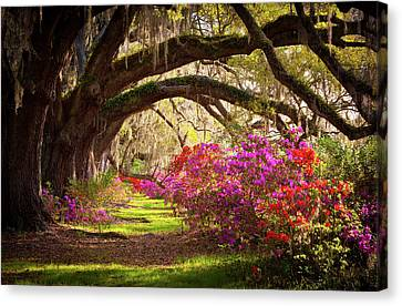 South Carolina Canvas Print - Charleston Sc Magnolia Plantation Gardens - Memory Lane by Dave Allen