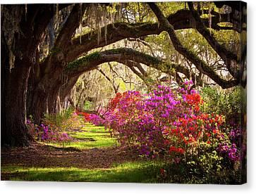Warm Canvas Print - Charleston Sc Magnolia Plantation Gardens - Memory Lane by Dave Allen