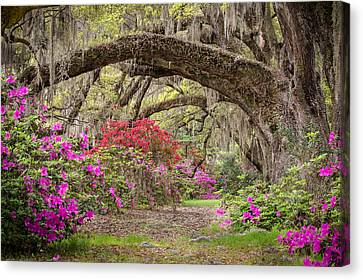 Charleston South Carolina - Spanish Moss Live Oaks And Azaleas - Magnolia Plantation Canvas Print by Bill Swindaman