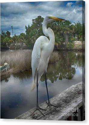 Charlie The Great Egret Canvas Print by Judy Hall-Folde