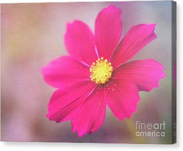 Charming Cosmos Canvas Print