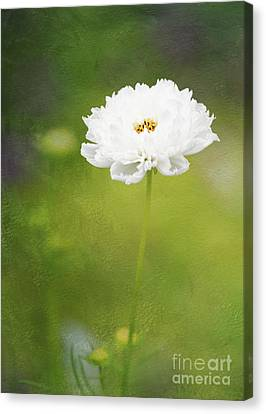 Charming White Cosmos Canvas Print