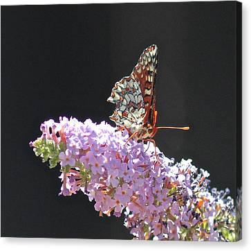 Checkerspot Butterfly Canvas Print by Liz Vernand