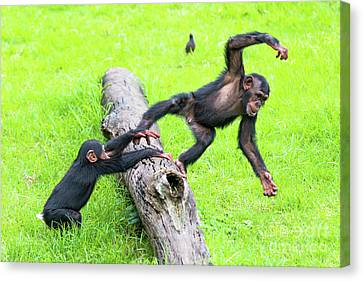 Cheeky Chimps Canvas Print