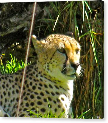 Cheetah   Face Canvas Print by Debra     Vatalaro