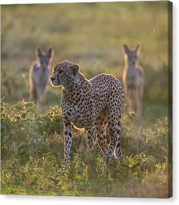 Cheetah Acinonyx Jubatus And Jackals Canvas Print by Panoramic Images