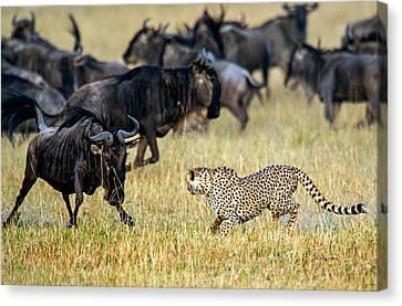 Cheetah Acinonyx Jubatus Chasing Canvas Print by Panoramic Images