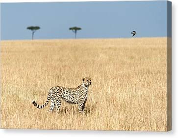 Cheetah Acinonyx Jubatus In Plains Canvas Print by Panoramic Images