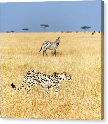 Cheetah Acinonyx Jubatus Looking Canvas Print by Panoramic Images