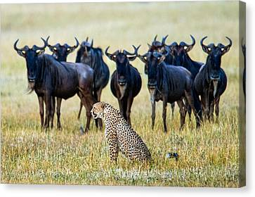Cheetah Acinonyx Jubatus With Blue Canvas Print by Panoramic Images