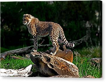 Cheetah Cub Finds Her Pride Rock Canvas Print