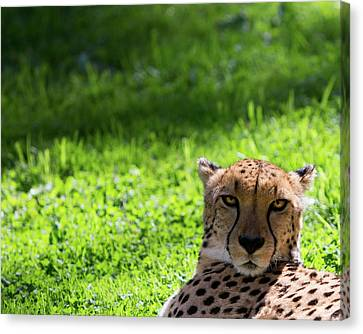 Canvas Print featuring the photograph Cheetah Face by Rebecca Cozart