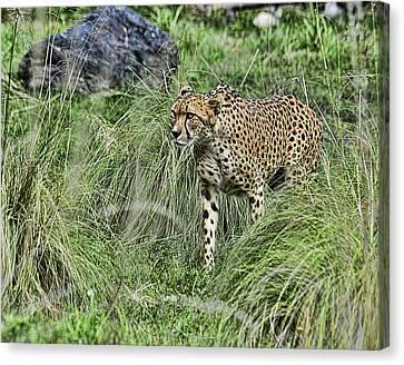 Cheetah Hunting Canvas Print