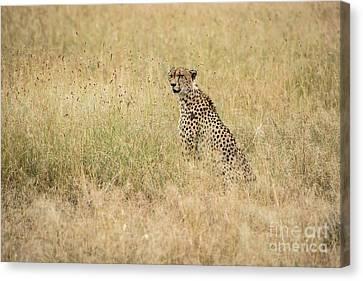 Cheetah In The Savannah Canvas Print