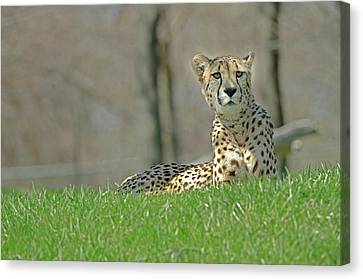 Canvas Print featuring the photograph Cheetah by JT Lewis