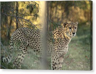 Pittsburgh Zoo Canvas Print - Cheetah by Mark Milar